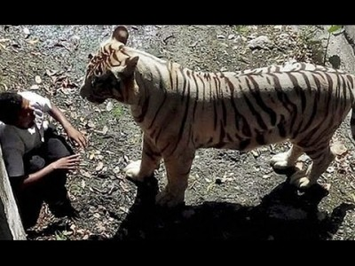 White Tiger in Delhi Zoo mauls Man after he falls into it's Enclosure