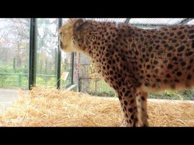 Cheetah's Reaction to Annoying Visitors