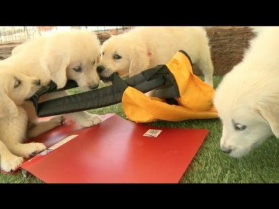 Back to School Puppies! – Golden Retriever Puppies