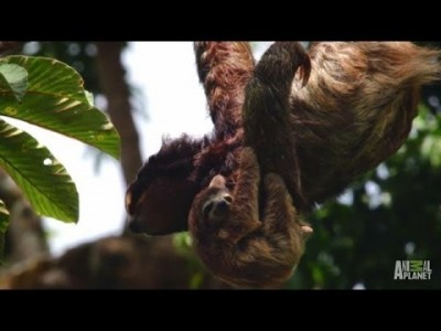 Hanging on the Edge | Meet the Sloths