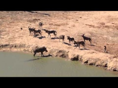 Warthog stuck between Wild Dogs and a Crocodile. What will Happen?