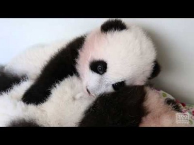Panda Cubs – When Your Brother Doesn't Let You Nap