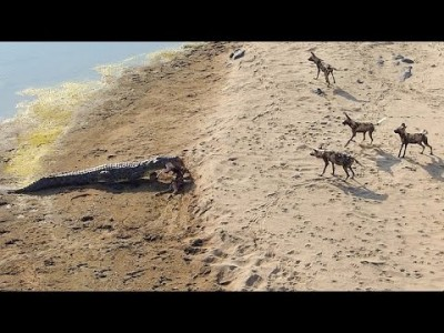 Crocodile steals Impala Kill from Pack of Wild Dogs