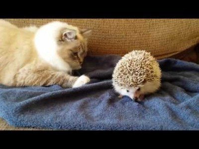 Kitty Sits on Hedgehog
