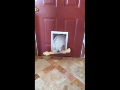 Bulldog trying to get her extra large bone through the Door