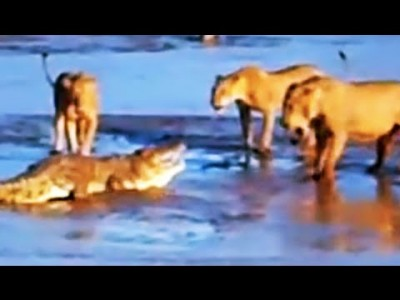 Lions attack a Crocodile