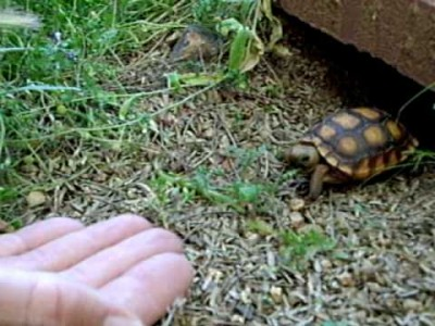 Tiny Tortoise comes when Called