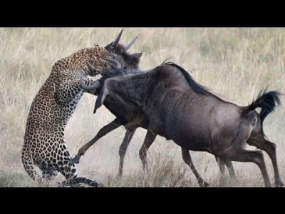 A Double Kill for the Leopard