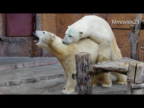 Polar Bears Mating