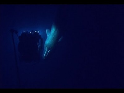 Remotely operated Vehicle encounters rare Sperm Whale