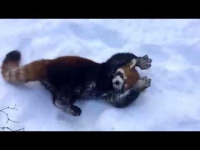 Red Pandas are having 'Snow' much Fun