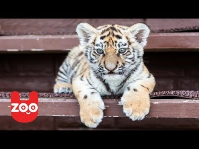 Cute Baby Tiger Cubs