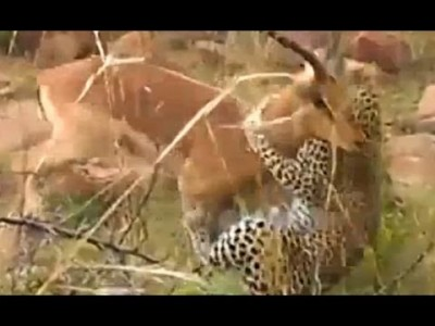 Battle to the Near Death Between a Leopard and Impala