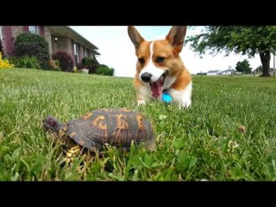 Dog discovers the Rock is actually a Turtle