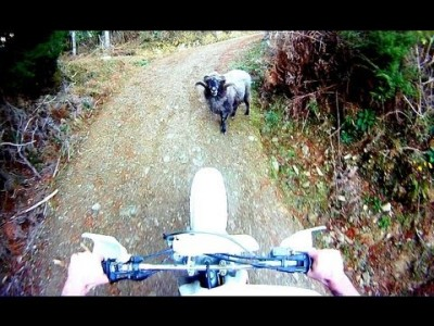 Angry Ram attacks Motorcyclist