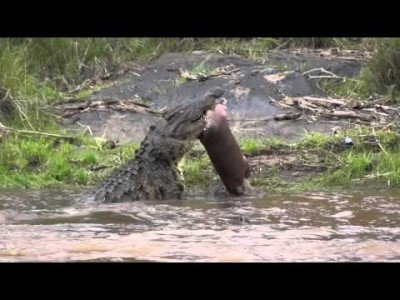 Crocodile eats Baby Hippo