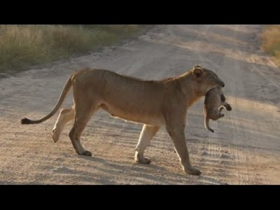 Lioness and her Cute Cub on the Road