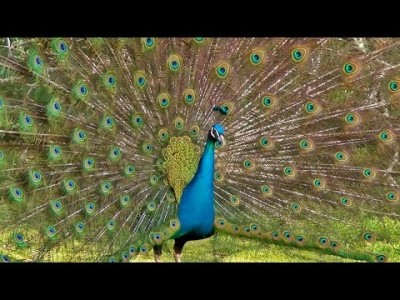 The Most Magnificent Peacock Dance Display Ever