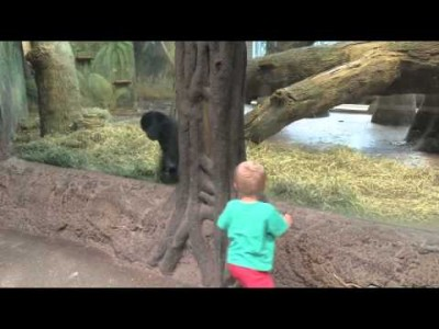Young Gorilla and Toddler play peek-a-boo at the Columbus Zoo