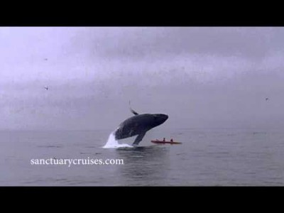 Humpback Whale Breaches on Top of Kayakers