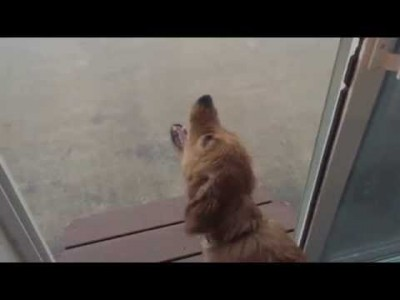 Golden Retriever Puppy Playing in the Rain for the First Time