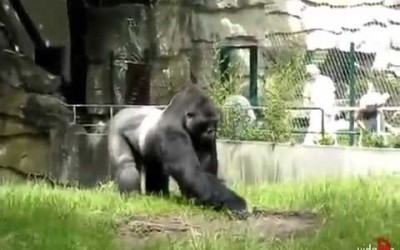 Gorilla Throws Mud at Caretakers