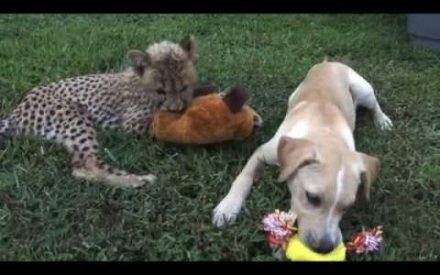 Kumbali and Kago – Cheetah Cub & Puppy Friendship