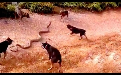 King Cobra vs Domestic Dogs