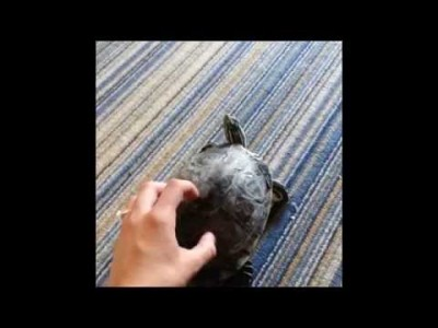 Turtle Shakes when Owner Scratches his Shell