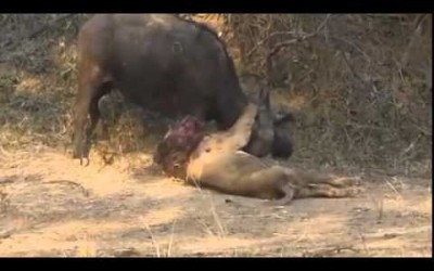 Buffalo Kills Lion