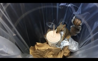 Milkshake Squirrel Steals Shake Shack from NYC Garbage