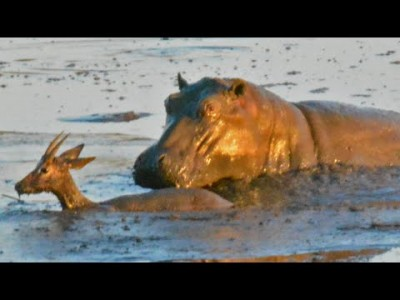 Hippo Kills an Impala That's Stuck in Mud After Lions Chased it