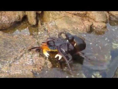 Octopus eating a Crab in Yallingup